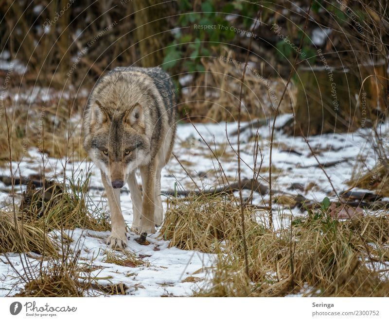 European wolf alone on the way Animal Wild animal Animal face Pelt Paw Animal tracks Zoo 1 To feed Walking European Wolf Exterior shot Deserted Copy Space right