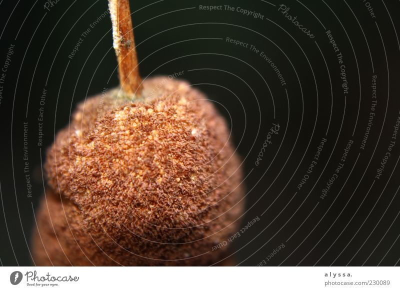 Nature Plant Black Brown Round Common Reed