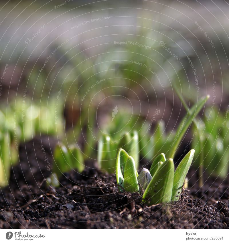 Hyacinths sprout from the earth and show their first leaf green and buds Earth Spring Plant Flower Leaf Hyacinthus Bud Plantlet Sprout Growth Fresh Small