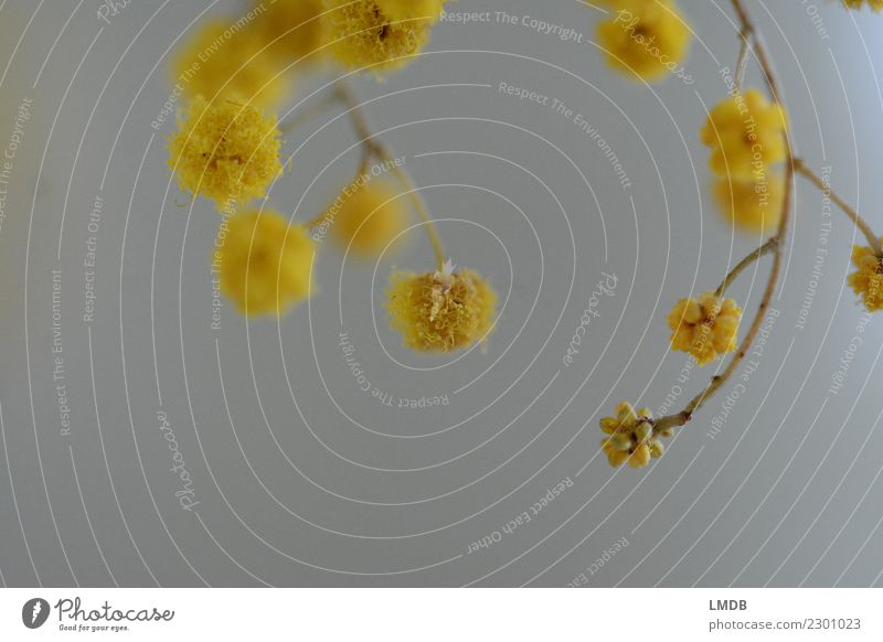 Plant Yellow Blossom Spring Decoration Happiness Blossoming Branch Easter Point Sphere Branched Tuft