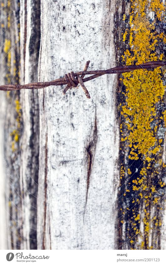 Rusty barbed wire. As background weathered mossy wood Barbed wire Disappointment Exterior shot Close-up Long shot Pain Reluctance Death Grief Concern Hideous