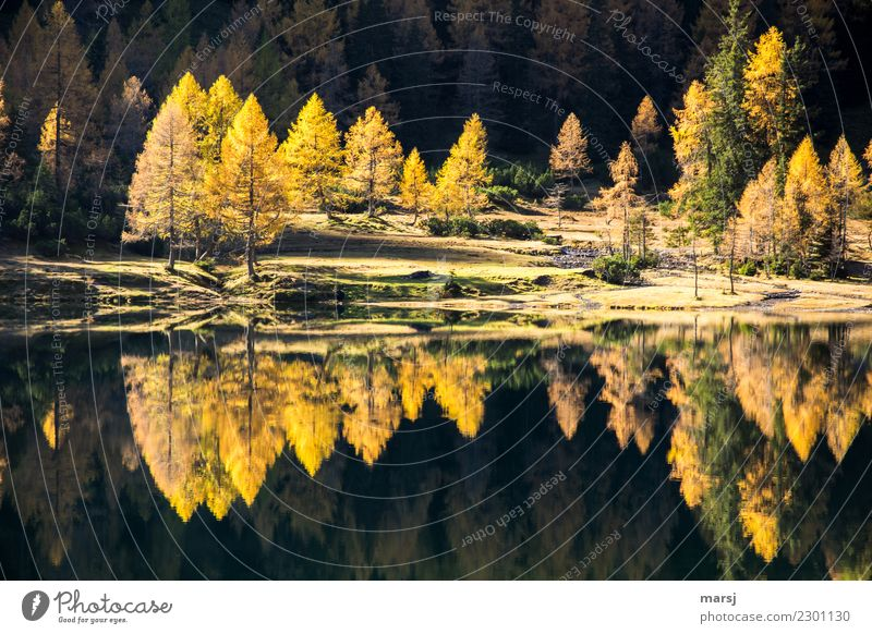 Double larch gold, all over the place. Mountain Hiking Autumn Plant Forest Lake Duisitz Lake Illuminate Exceptional Fantastic Gold Reflection Colour photo