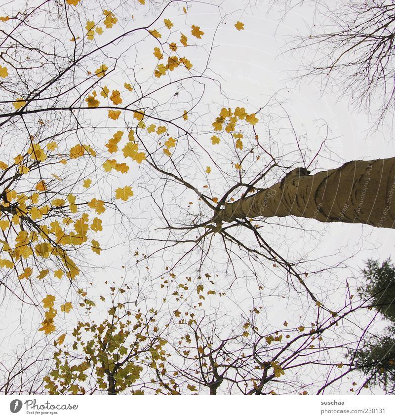 look up at the tree ... Environment Nature Landscape Sky Autumn Climate Climate change Weather Beautiful weather Tree Forest Wood Tree trunk Branch Leaf Treetop