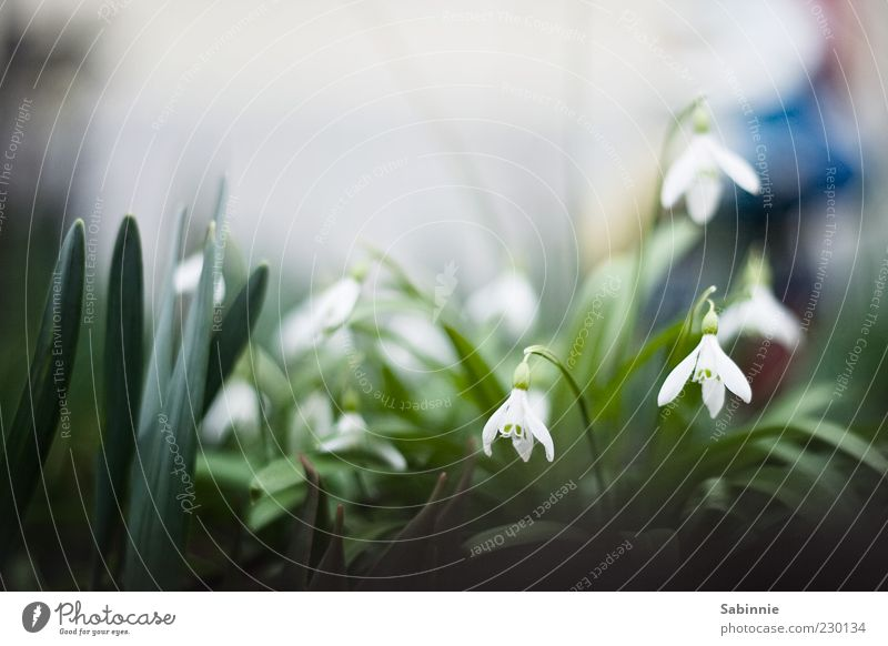 Spring crawls out of its hole Garden Plant Leaf Blossom Foliage plant Snowdrop Crocus Small Wild Green White Front garden Spring fever Spring flowering plant
