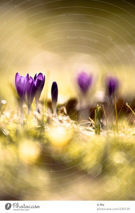 Solar energy Environment Nature Sun Spring Beautiful weather Plant Flower Blossom Crocus Garden Blossoming Fragrance Bright Yellow Green Violet Colour photo