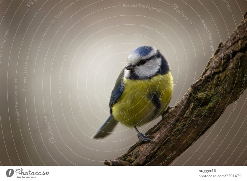 Blue Tit Environment Nature Animal Spring Summer Autumn Winter Beautiful weather Fog Tree Bushes Branch Garden Park Forest Wild animal Bird Animal face Wing