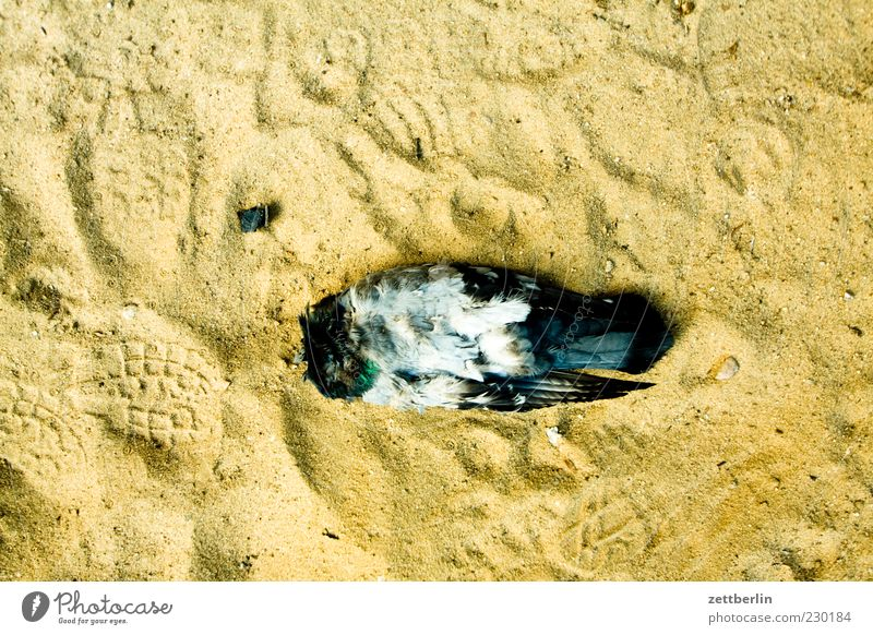 Pigeon (headless) Animal Dead animal 1 Sand Headless Lie Feather Wing Death cadaverous Colour photo Exterior shot Detail Macro (Extreme close-up) Deserted Day