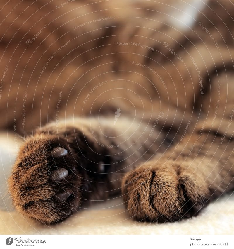 Cat Calm Animal Relaxation Brown Contentment Lie Sleep Break Pelt Paw Pet Cuddly Safety (feeling of) Restful Doze