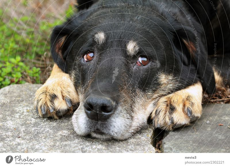 A bad conscience Animal Pet Dog Animal face 1 Observe Lie Small Curiosity Cute Brown Black Emotions Love of animals Conscientiously Patient Exhaustion Guilty
