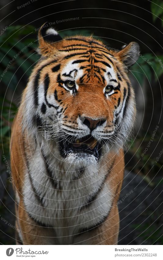 Close up portrait of mature Siberian tiger male Cat Nature Old Green Animal Forest Dark Wild Wild animal Vantage point Ground Mammal Mature Zoo Animal face