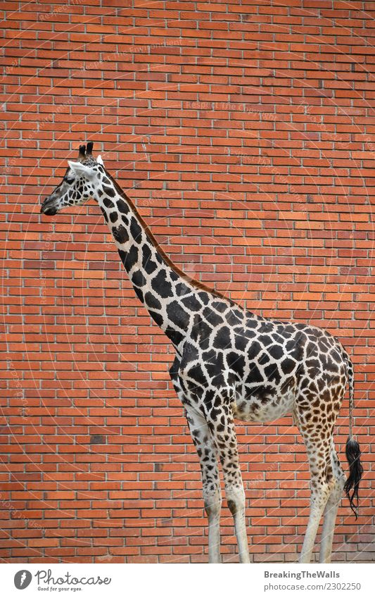 Close Up Side Profile Portrait Of Giraffe Over Red Brick Wall
