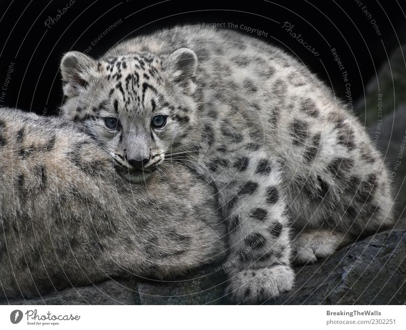 Close up portrait of young snow leopard cub resting Cat Nature Animal Baby animal Small Together Rock Wild Head Wild animal Group of animals Mammal Zoo