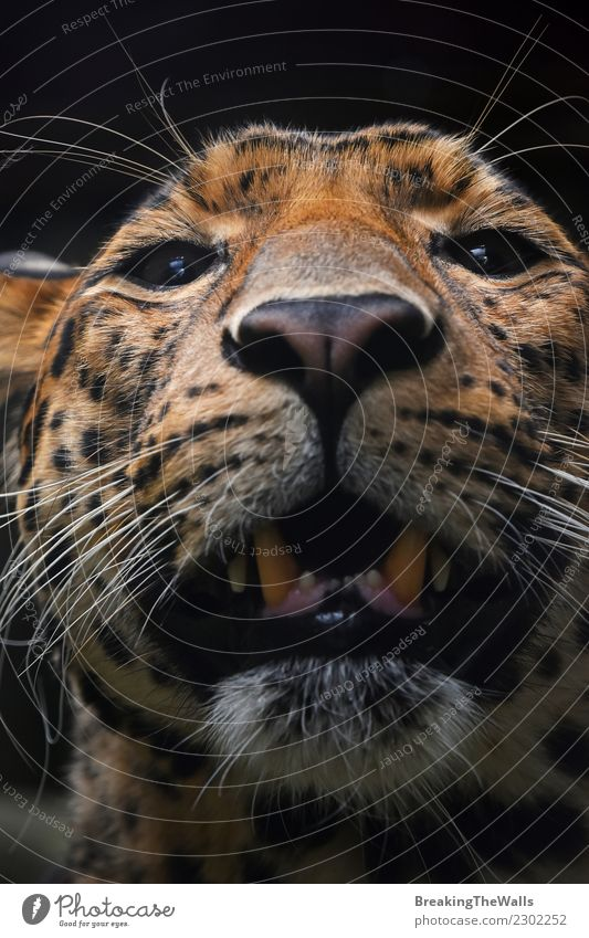 Extreme close up portrait of Persian leopard Cat Nature Animal Dark Black Eyes Wild Head Wild animal Vantage point Mammal Zoo Animal face Snout Carnivore