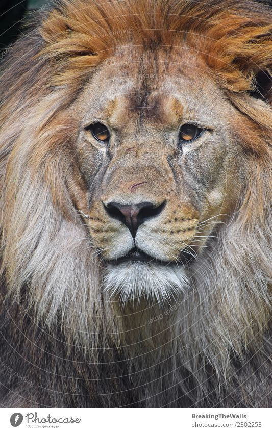Close up portrait of young male African lion Nature Animal Wild animal Animal face Zoo Head Eyes Big cat Cat 1 Lion Snout Mane wildlife predator Carnivore