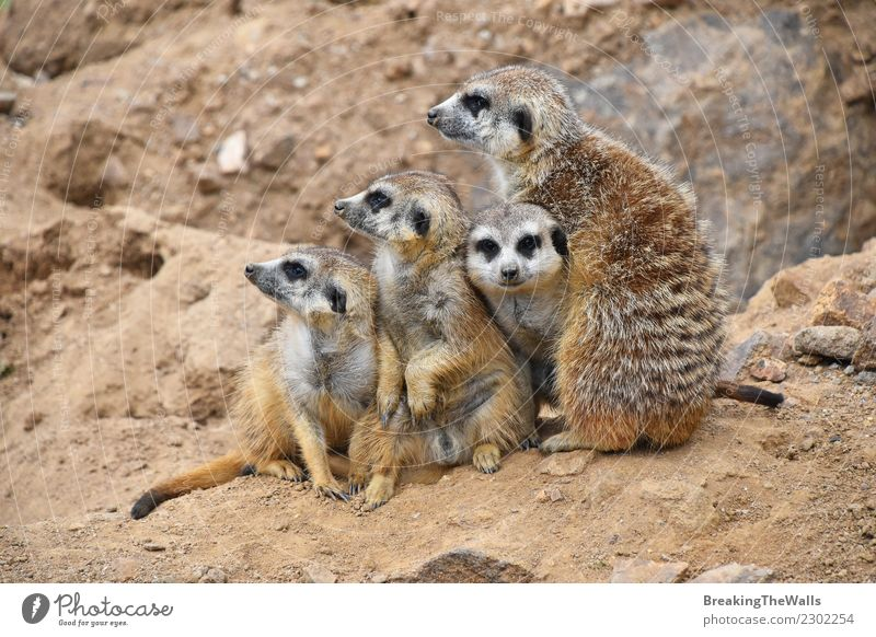 Close up portrait of meerkat family looking away Nature Animal Sand Rock Wild animal Animal face Zoo 4 Group of animals Baby animal Animal family Together