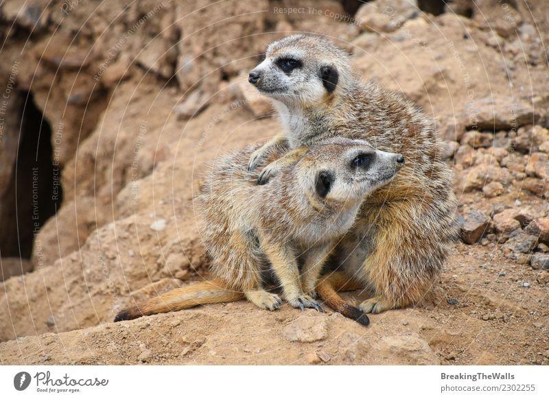 Close up portrait of meerkat family looking away Nature Animal Sand Rock Wild animal 2 Group of animals Baby animal Animal family Together Meerkat Suricata pup