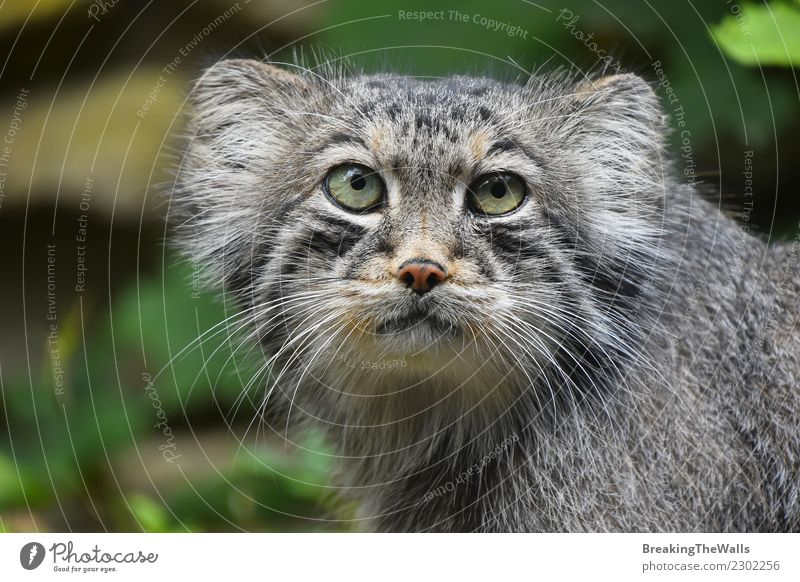 Close up portrait of one cute Manul Pallas's cat Nature Animal Forest Wild animal Animal face Zoo pallas's cat Head Eyes Cat 1 Cute Snout stare danger Cautious