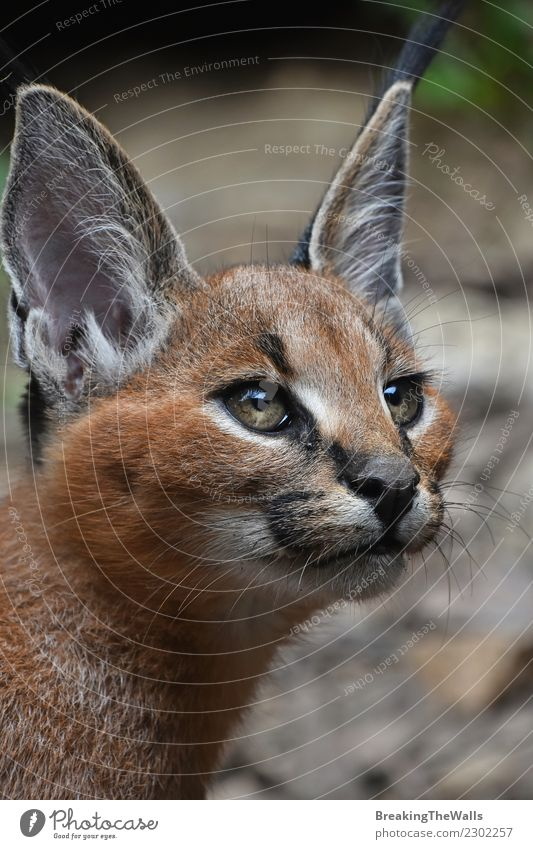 Close up portrait of baby caracal kitten Nature Animal Wild animal Animal face Cat Wild cat Head Eyes Ear 1 Observe Small Kitten Low angle Vantage point alerted