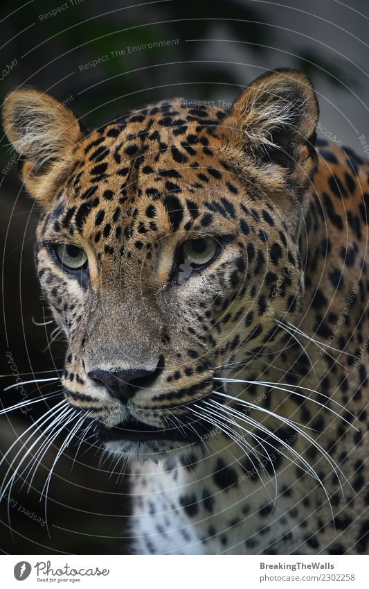 Close up portrait of Persian leopard Nature Animal Wild animal Animal face Zoo Big cat Cat Head Eyes Whisker 1 Snout wildlife Mammal predator Carnivore
