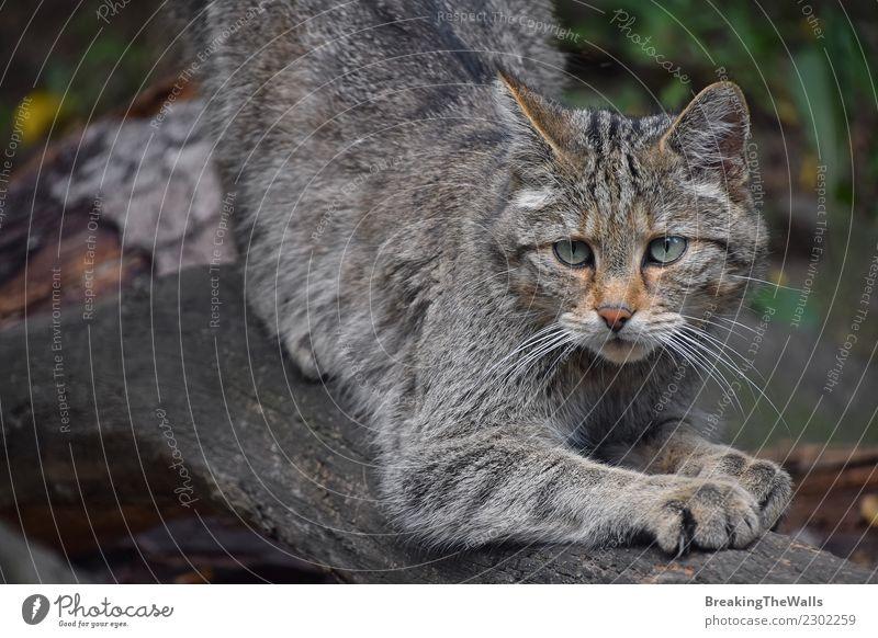 Close up portrait of one European wildcat Nature Animal Forest Wild animal Cat Animal face Zoo Eyes european wildcat 1 Observe Small Watchfulness Wild cat felis