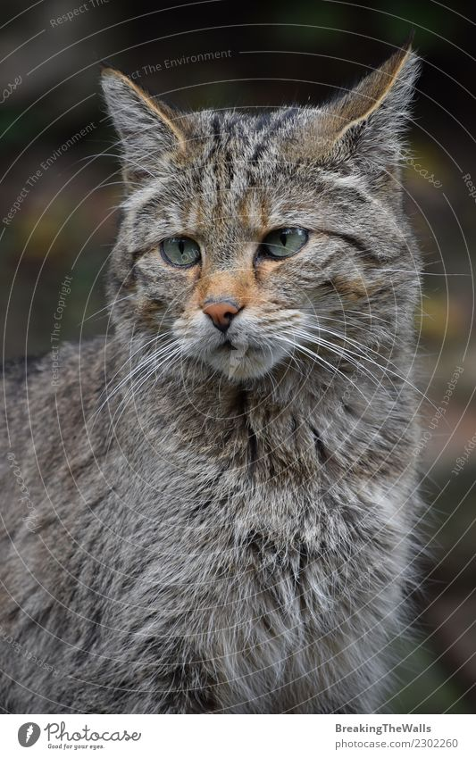 European wildcat portrait close up Cat Nature Animal Forest Wild Head Wild animal Vantage point Observe Mammal Watchfulness Zoo Animal face Low Wild cat
