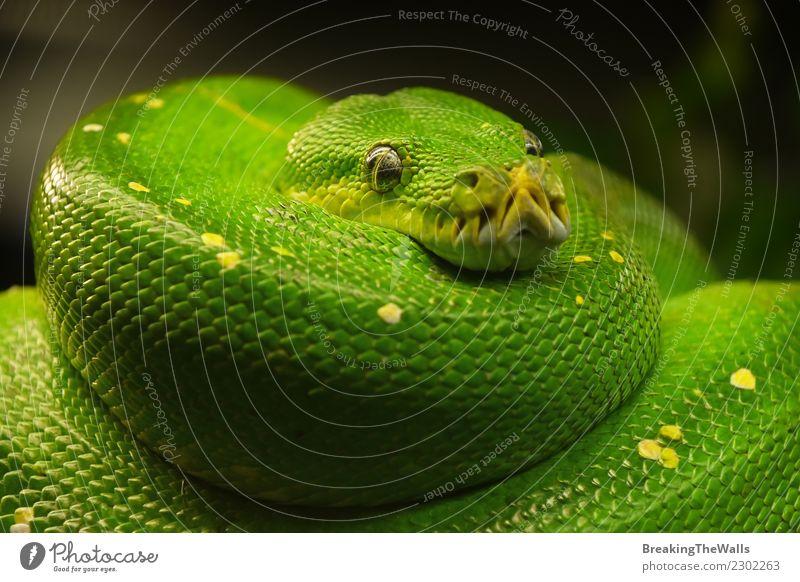 Close up portrait of beautiful Green tree python Nature Animal Wild animal Snake Zoo Green Tree Python Head Eyes Reptiles 1 Colour Morelia viridis Low angle