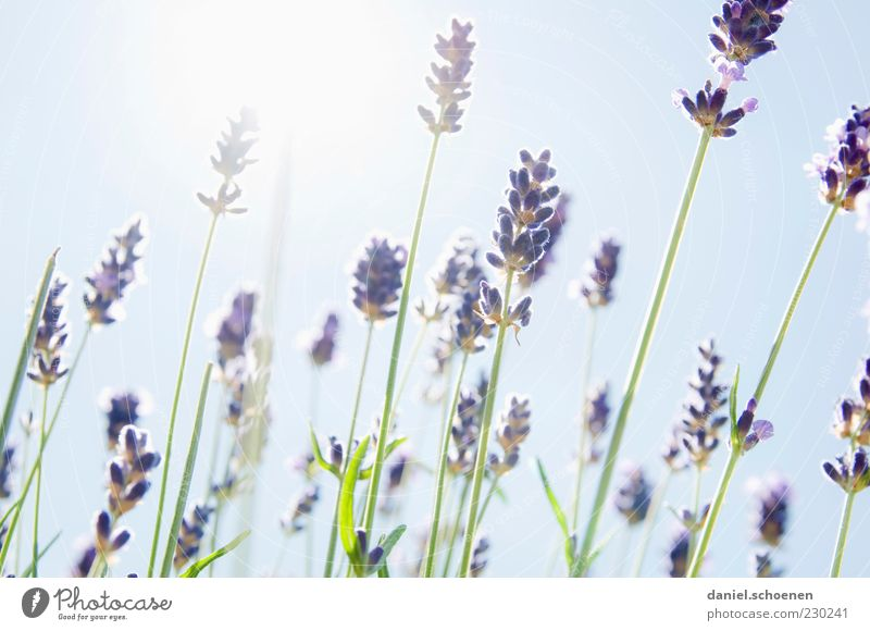 scented backlight Plant Sky Cloudless sky Sun Summer Beautiful weather Blue White Lavender Herbs and spices Light Sunlight Sunbeam Back-light Natural Deserted