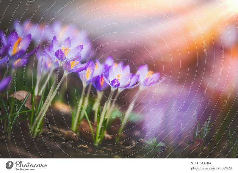 Nature Plant Flower Leaf Yellow Blossom Background picture Spring Garden Design Park Beautiful weather Blossoming Crocus Flowerbed
