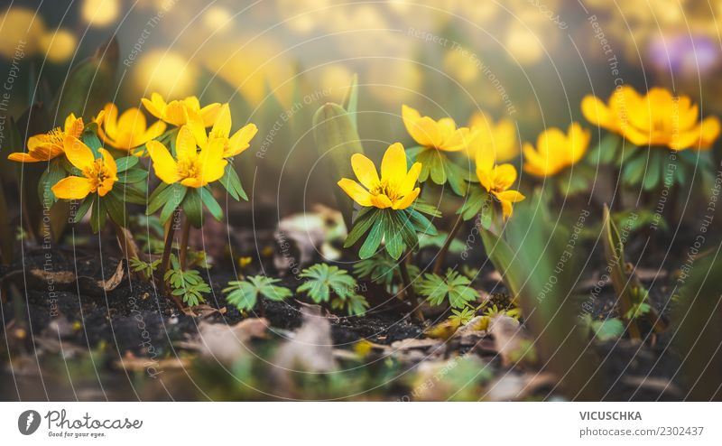 Yellow winterling flowers Design Summer Garden Nature Plant Spring Flower Leaf Blossom Park Meadow Blossoming Eranthis hyemalis Close-up Nature reserve