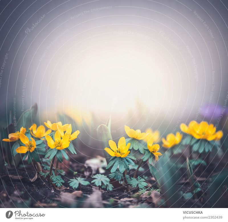 Small yellow flowers on foggy morning Lifestyle Design Summer Garden Nature Plant Spring Flower Leaf Blossom Park Forest Yellow Background picture