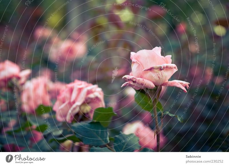 rose garden Environment Nature Plant Flower Rose Leaf Blossom Foliage plant Green Pink Esthetic Blossoming Spring Natural Faded Colour photo Multicoloured