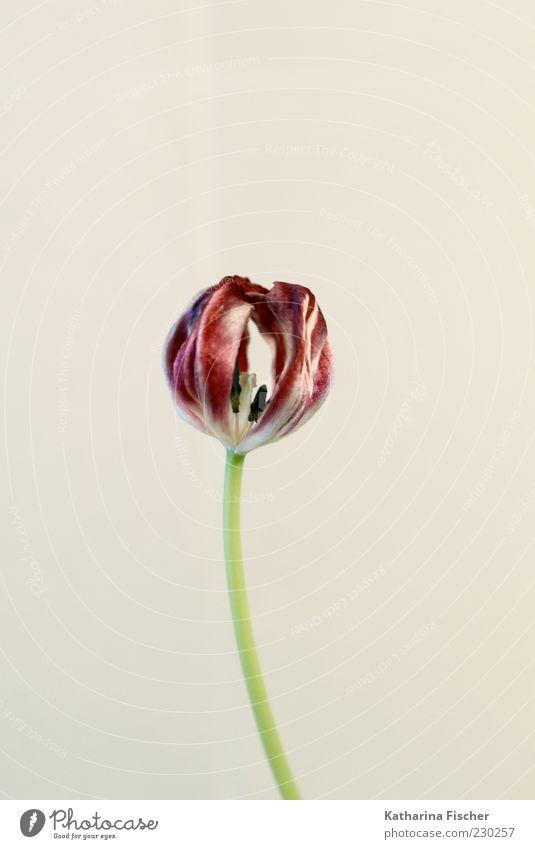 tulip Plant Flower Tulip Fragrance Authentic Elegant Bright Beautiful Green Red White Blossom Pistil Dry Studio shot Flower stalk Colour photo Interior shot