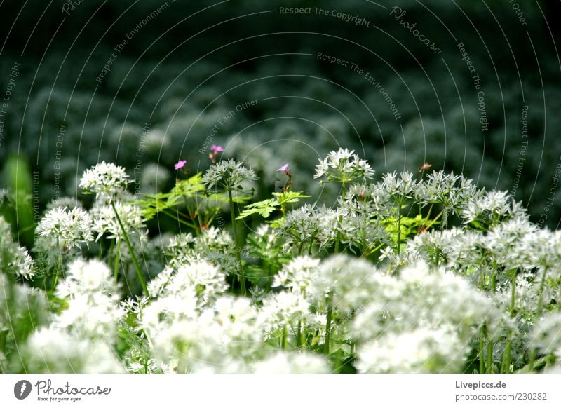 Nature Green White Plant Flower Environment Spring Growth Violet Beautiful weather Fragrance