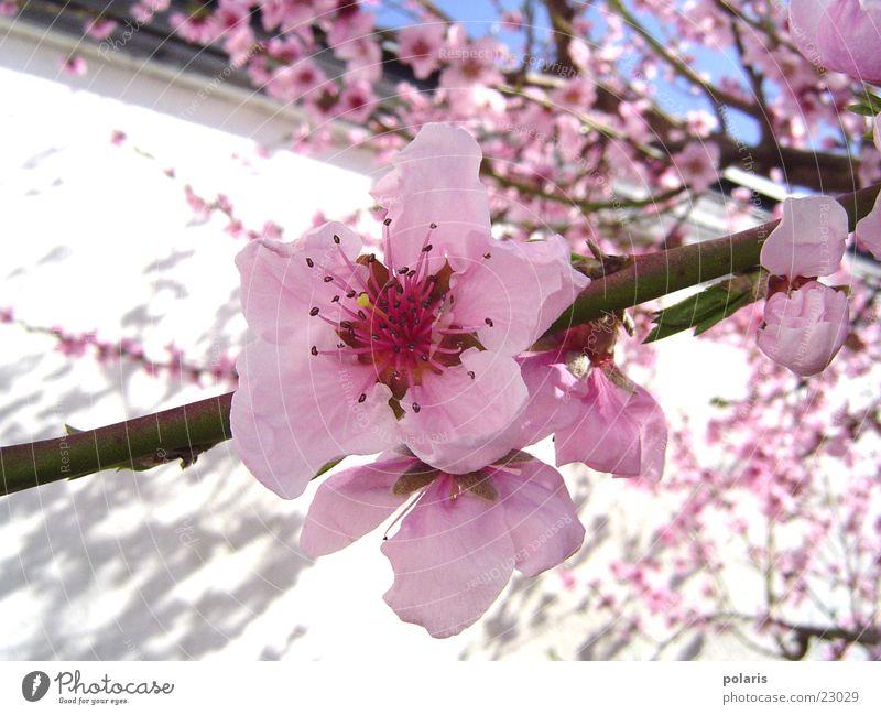 pink blossom Pink Flower Spring Peach blossom Tree Blossom Close-up Detail