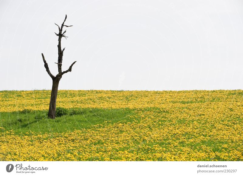 Sky Nature Green Tree Plant Flower Yellow Meadow Death Life Environment Grass Spring Climate Dandelion Field