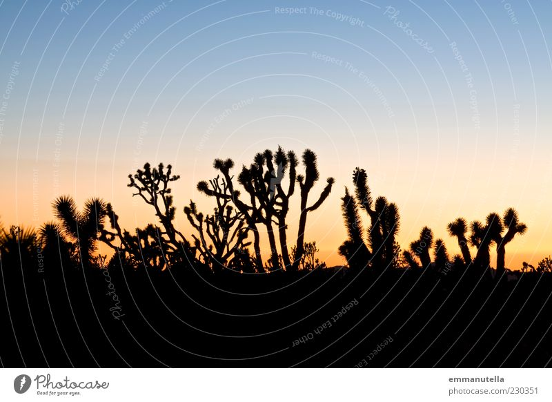 Mojave Desert, California, USA Moody Joshua Tree Cactus Sunset Colour photo Exterior shot Abstract Pattern Deserted Copy Space top Twilight Silhouette