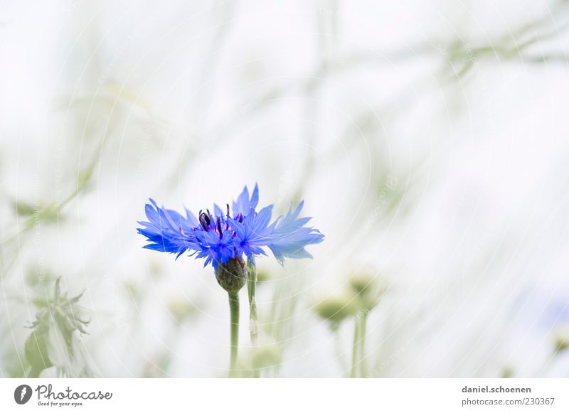 a cornflower ! Environment Nature Plant Spring Summer Flower Bright Blue Gray White Cornflower Detail Macro (Extreme close-up) Copy Space left Copy Space right