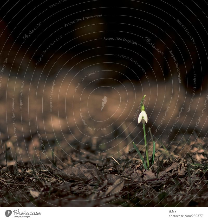 Nature Plant Flower Environment Garden Small Blossoming Snowdrop Spring flower