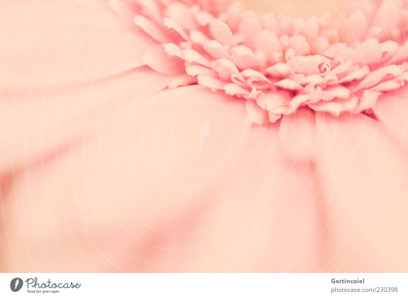 Beautiful Plant Flower Blossom Spring Pink Kitsch Blossom leave Gerbera Macro (Extreme close-up)