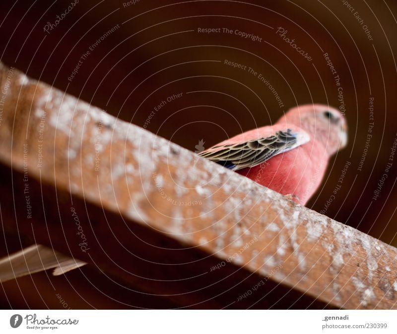 Bourke's Parakeet Animal Pet Bird 1 Pink Red Joist Feces Worm's-eye view Wing Livestock breeding Bird's cage Animalistic Colour photo Deserted