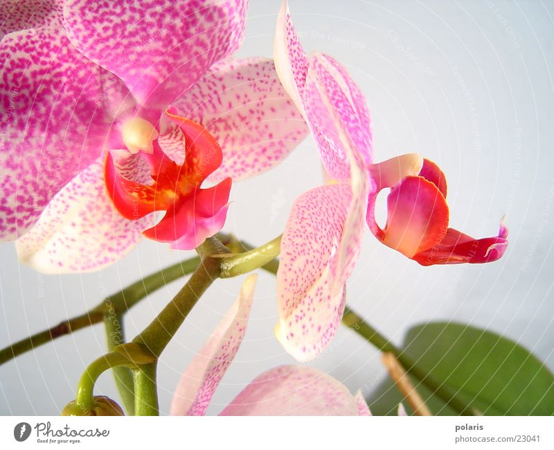 Beautiful Flower Pink Near Violet Orchid