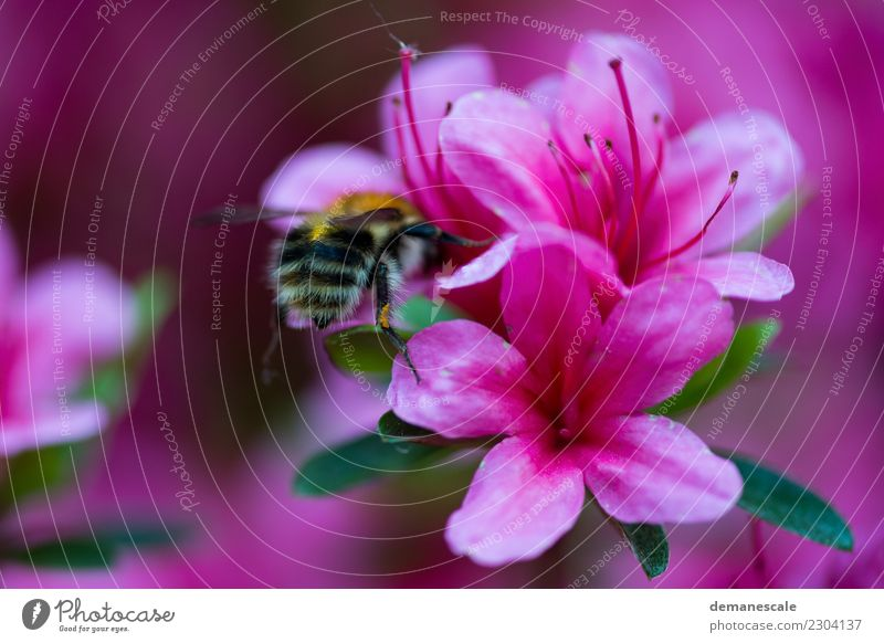 bumblebee Environment Nature Plant Flower Leaf Blossom Rhododendrom Garden Park Animal Bumble bee 1 Movement Blossoming Fragrance Flying To enjoy Crawl