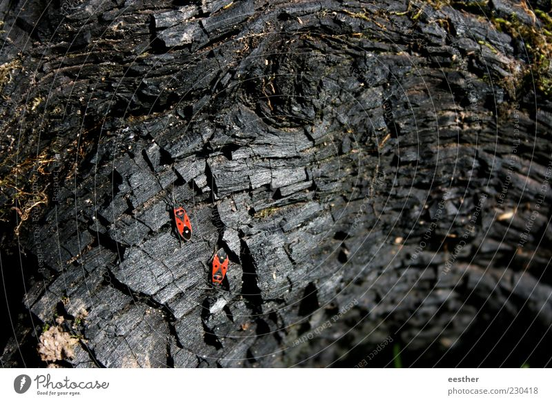 Strong together Nature Plant Animal Beetle Pair of animals Wood Observe Discover Crawl To dry up Esthetic Beautiful Gloomy Dry Red Black Moody Bravery Power