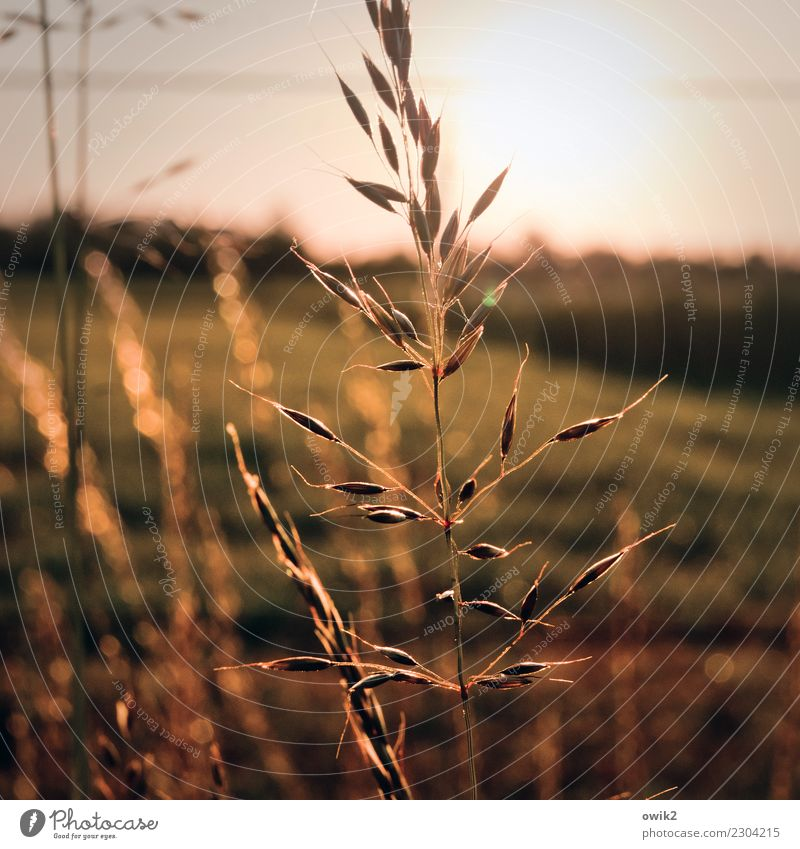 The Hafre Elegant Agriculture Environment Nature Plant Elements Cloudless sky Horizon Autumn Beautiful weather Agricultural crop Oats Oats ear Grain Field