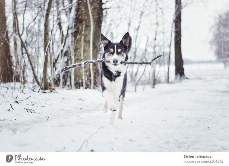 Border Collie Olli Leisure and hobbies Playing Winter Snow Snowfall Pet Dog 1 Animal Walking Running Free border collie Romp Puppydog eyes dog's dream dog love