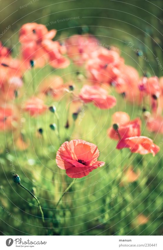 corn poppy Nature Spring Summer Flower Grass Blossom Poppy Poppy blossom Summery Corn poppy Authentic Natural Beautiful Red Colour photo Exterior shot Deserted