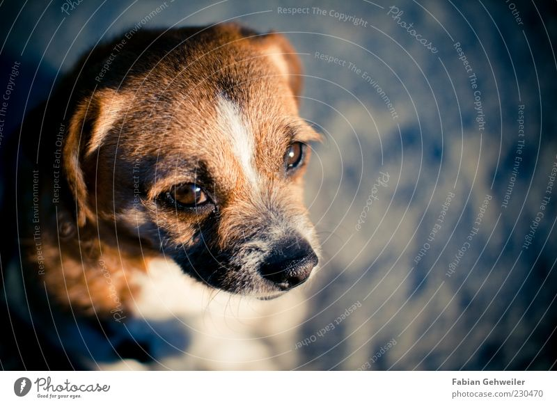Calm Animal Dog Small Brown Wait Nose Cute Trust Pet Concern Loyalty Dog's head Puppydog eyes Dog eyes
