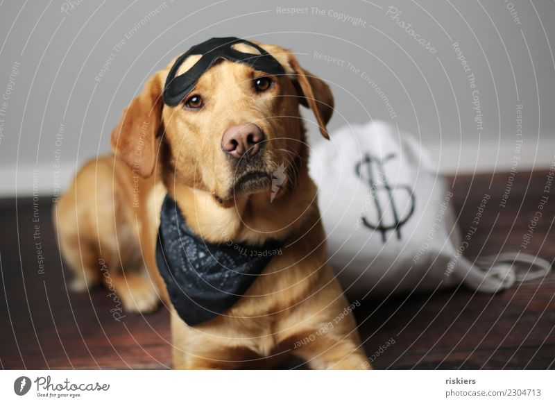 Thief of treats Animal Pet Dog 1 Looking Cute Loyalty Carnival costume Costume Puppydog eyes Colour photo Interior shot Studio shot Artificial light