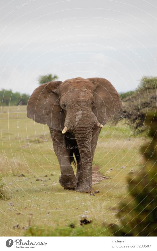 Green Animal Gray Movement Power Going Wild animal Animal face Antlers Africa Elephant Gigantic National Park Namibia Nature reserve