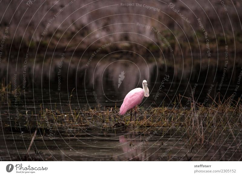 Roseate spoonbill waterfowl wading bird called Platalea ajaja Nature Animal Park Pond Wild animal Bird 1 Flying Pink Duck birds pink bird Wild bird wildlife fly